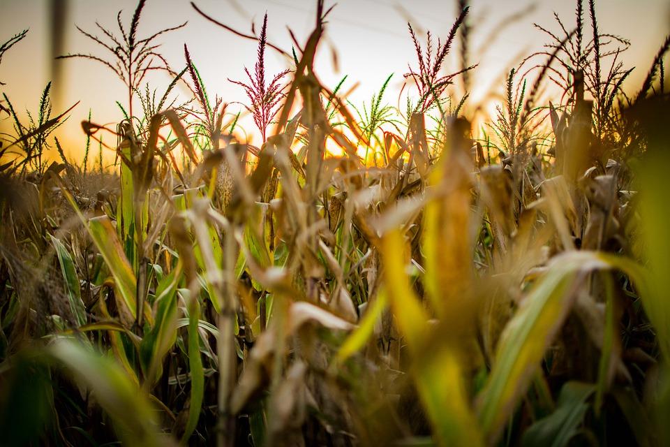 à l'intérieur d'un champ de maïs